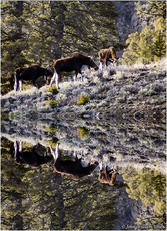 Yellowstone Moose ~ © Copyright All Rights Reserved John William Uhler